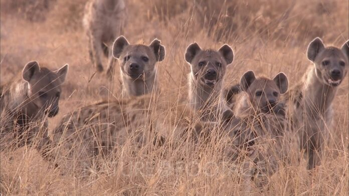 Des hyènes déterrent des corps au cimetière de…