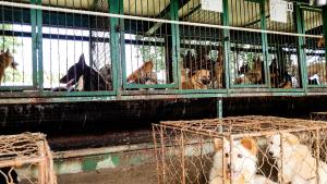 Prêts à être mangés, 200 chiens découverts dans des cages en Corée du Sud